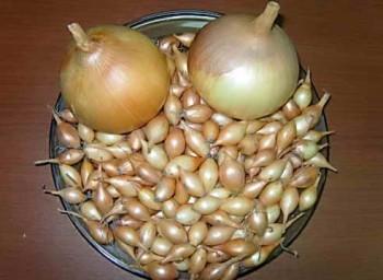 Как выбрать и сохранить лук-севок для посадки