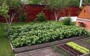 Как выращивать клубнику. Способы посадки и этапы развития