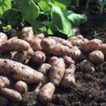 Как вырастить картофель к июню