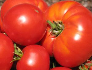 Как вырастить рассаду крупных томатов, интересный способ