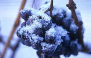 Как защитить виноград в период заморозков
