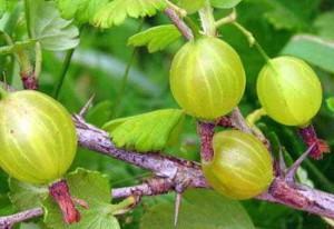 Крыжовник, особенности выращивания и ухода