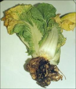 Меры борьбы против килы капусты