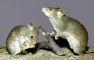 Мыши, серьезная проблема для винограда