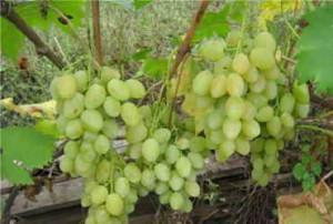 Нормировка или как определить нагрузку винограда на куст