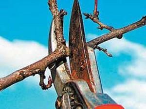 Обрезка фруктовых деревьев: ничего сверхъестественного