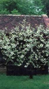 Обрезка низкоштамбовой вишни