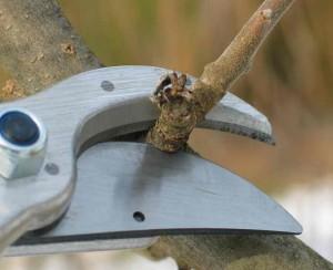 Обрезка побегов, влияние обрезки на плодовое дерево