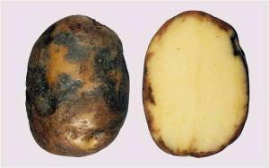 Основные болезни картофеля и причины его повреждения фото