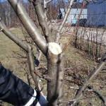 Основные ошибки при обрезке деревьев