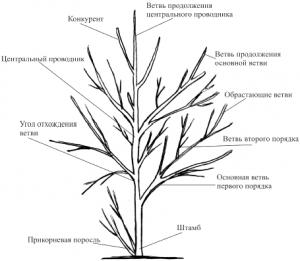 Основные понятия без которых обрезка деревьев невозможна