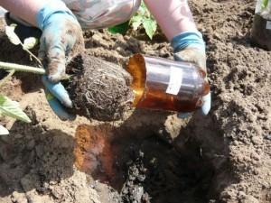 Основы высадки рассады томатов в открытый грунт