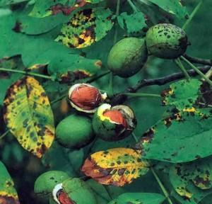Особенности обрезки грецкого ореха и лещины