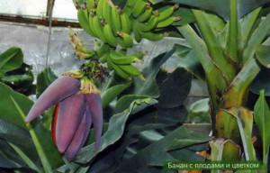 Особенности выращивания экзотических плодов в домашних условиях