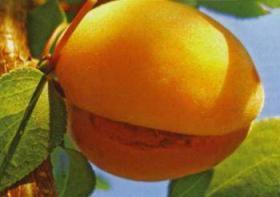Почему кожура абрикоса и персика трескается