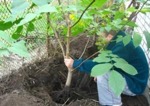 Подготовка к посадке плодовых деревьев