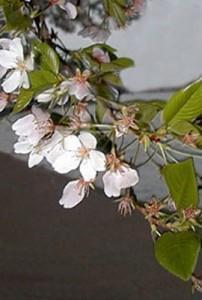 Подкормка вишни и сливы