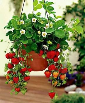 Посадка ампельной клубники — альтернативный способ выращивания на маленьком участке