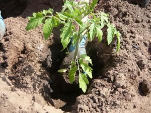 Посадка рассады помидор в открытый грунт, видео