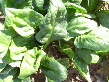 Посадка шпината и уход, чтобы листья не были горькими