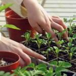 Посевные работы в марте, капуста и томат