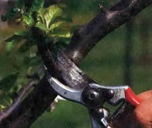 Правила обрезки, спиливания и обработки ран деревьев