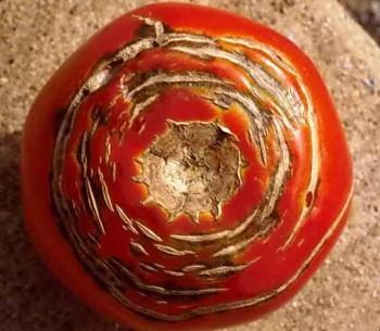 Причины образования трещин на томатах,  как избежать растрескивания