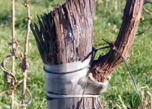 Прививка деревьев методом окулировки