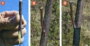 Прививка груши на рябину и не только. Опыт садовода