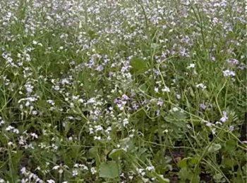 Редька масличная, как сидерат влияет на почву, сроки покоса