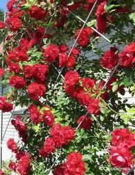 Решетки для плетистых роз
