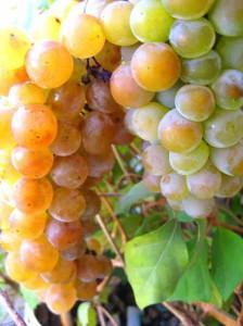 Сбор и хранение гроздей винограда