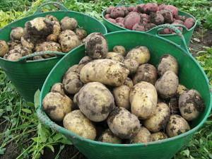 Сбор картофеля и правила его хранения