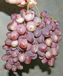 Сорта винограда ранне-среднего срока созревания