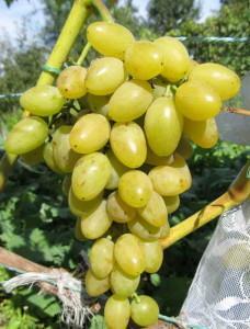Сорта винограда раннего срока созревания