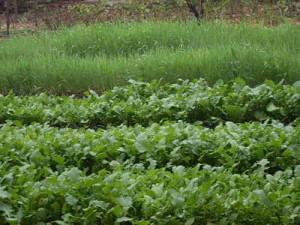 Список растений-сидератов для плодородия почвы