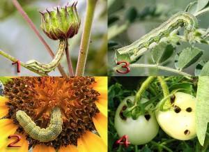 Типы повреждений растений сосущими насекомыми-вредителями