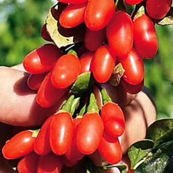 Три варианта посадки Годжи, уход и сбор ягод