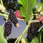 Тутовник шелковица (тутовое дерево)