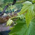 Уход за виноградом весной в начале сокодвижения