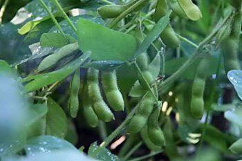В каких условиях растет соя, посадка на приусадебном участке