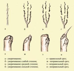 Вид обрезки деревьев — укорачивание