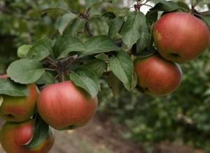 Влияние минеральных веществ на опадение плодов