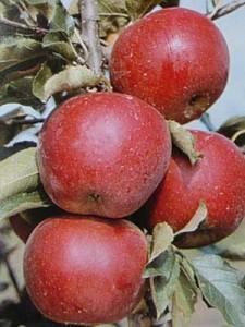Влияние средств прореживания (ростовых веществ) на окраску и созревание плодов