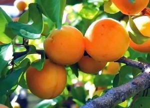 Выращивание абрикоса: от посадки до укрытия на зиму