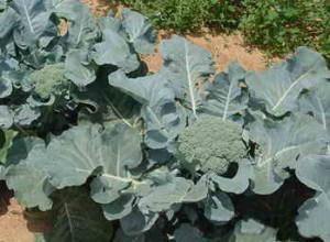 Выращивание брокколи на огороде, посадка семян и уход