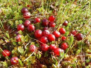 Выращивание клюквы от посадки до сбора урожая