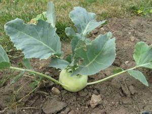 Выращивание кольраби, советы от дачников