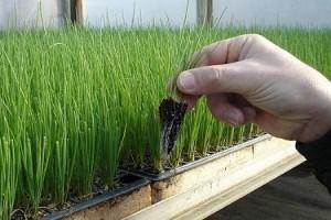 Выращивание лука через рассаду на подоконнике