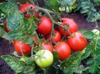 Выращивание рассады помидор в домашних условиях, подробное описание процесса